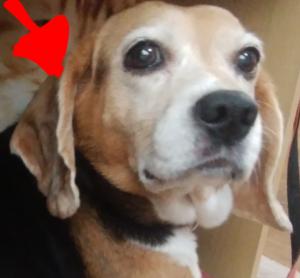 Screenmemo 2019 06 09 19 46 23 300x278 - 犬の耳血腫に「冷やす」はダメ!3回経験した全記録!