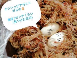IMG 20210805 174024 2 300x225 - ミシシッピアカミミガメの卵2つは孵化する?大きさや孵化期間を見る!