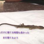 カナヘビの赤ちゃんが死んだ、1か月間元気で直前もそうだったのに【原因や予防法の記録】